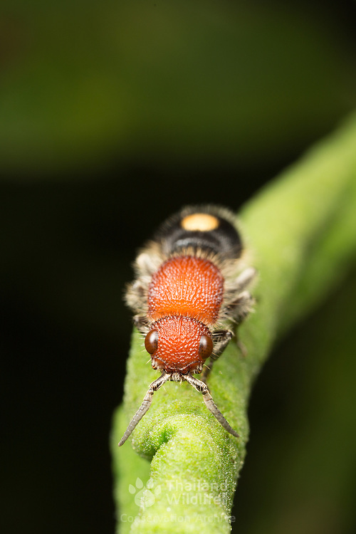 The Mutillidae are a family of more than 3,000 species of wasps whose wingless females resemble large, hairy ants.  Their bright colors serve as aposematic signals. They are known for their extremely painful stings, hence the common name cow killer or cow ant.