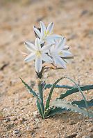 Desert Lily.(Hesperocallis undulata) Sonoran Desert, Anza-Borrego State Park California