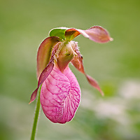 Native Wildflower Pink Lady's Slipper (Cypripedium acaule).<br /> <br /> All Content is Copyright of Kathie Fife Photography. Downloading, copying and using images without permission is a violation of Copyright.