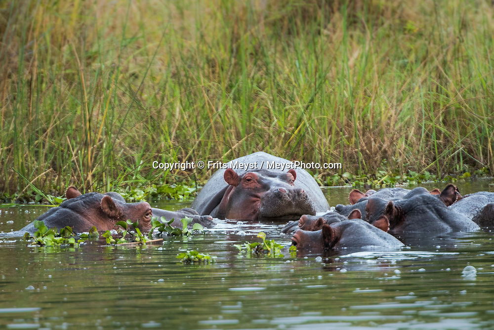 Malawi, July 2017.  Hippos in the water. FRom Mvuu Lodge one can explore Liwonde National Park through game drives and boat safari. Malawi is known for its long rift valley and the third largest lake in Africa: Lake Malawi. Malawi is populated with friendly welcoming people, who gave it the name: the warm heart of Africa. In the south the lake make way for a landscape of valleys surrounded by spectacular mountain ranges. Photo by Frits Meyst / MeystPhoto.com
