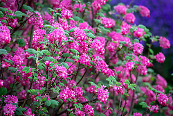 Ribes sanguineum - Flowering currant, Redflower currant.