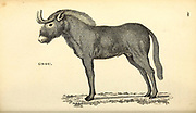 Gnou (Gnu) from General zoology, or, Systematic natural history Vol II Part 2 Mammalia, by Shaw, George, 1751-1813; Stephens, James Francis, 1792-1853; Heath, Charles, 1785-1848, engraver; Griffith, Mrs., engraver; Chappelow. Copperplate Printed in London in 1801 by G. Kearsley