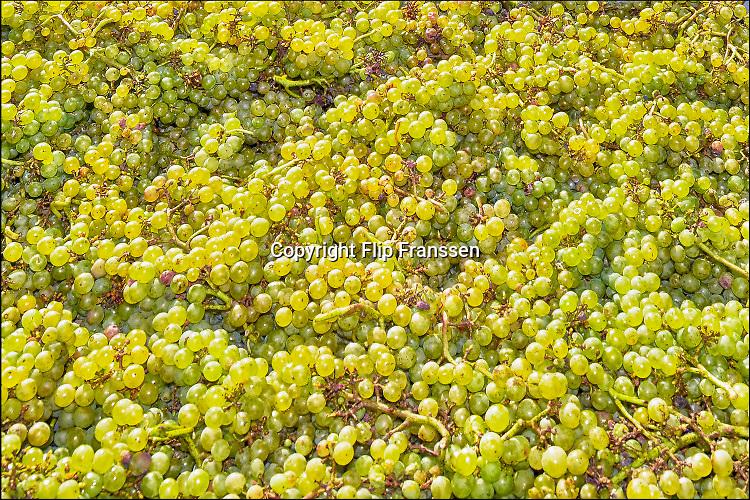 Nederland, Groesbeek, 4-10-2016Bij de biologische wijngaard de Colonjes zijn vrijwilligers bezig met de druivenoogst van dit seizoen. Beschimmelde en aangetaste vruchten worden zoveel mogelijk weggeknipt. Kwaliteit gaat hier boven kwantiteit. Groesbeek afficheert zichzelf als het wijndorp van Nederland omdat er de jaarlijkse wijnfeesten zijn en verschillende boeren druiven verbouwen. De oogst dit jaar is goed, met een hoog suikergehalte, en ook de gevreesde suzuki vlieg lijkt niet toegeslagen te hebben . Dit in tegenstelling tot twee jaar geleden toen de oogst door toedoen van dit insect nagenoeg mislukte en de angst voor dit beestje onder de zacht fruittelers steeds groter wordt ..Foto: Flip Franssen