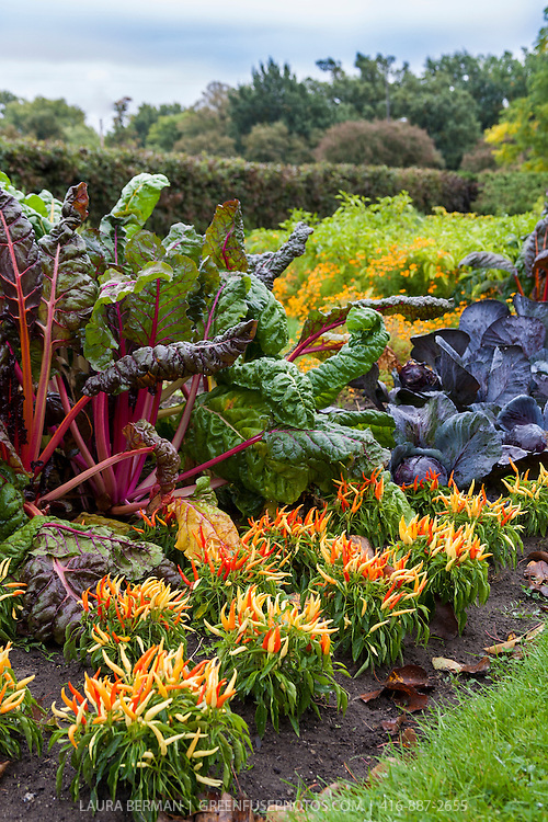 Bright Lights chard, yellow, orange, and red Medusa ornamental hot peppers, and purple cabbages add colour to a kitchen garden in early autumn.
