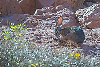 Endemic Black jackrabbit at Ensenada Grande on Isla Partidad in the Gulf of California,  Baja California, Mexico.