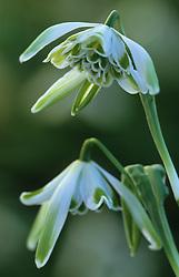 Galanthus nivalis 'Walrus' - snowdrop