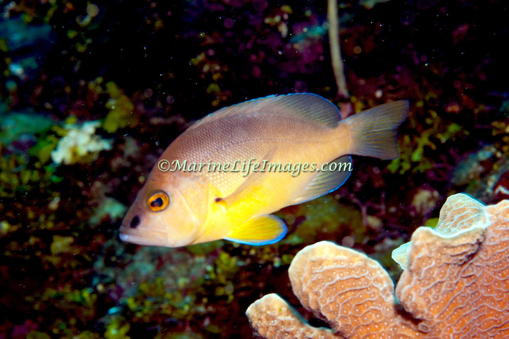Tan Hamlet inhabit reefs in Tropical West Atlantic; picture taken Roatan, Honduras.