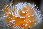 Protula bispiralis (Feather-duster tubeworm)