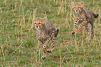 The cheetah mother with six cubs in a morning where the mother failed stalking a grant's gazelle and then just kept moving with the cubs across termite mounds and bush thickets on the way in search of other prey.