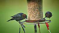 Pair of Brown-headed Cowbirds. Image taken with a Nikon D5 camera and 600 mm f/4 VR telephoto lens (ISO 1600, 600 mm, f/5.6, 1/320 sec).