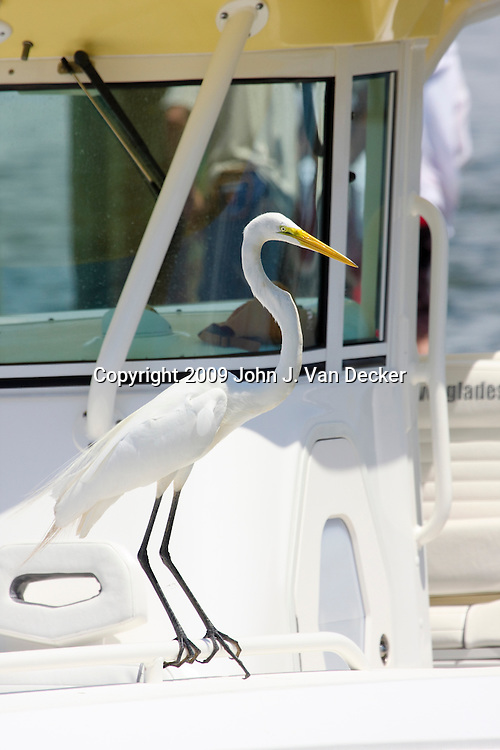 Great Egret standing on a fishing boat's bow