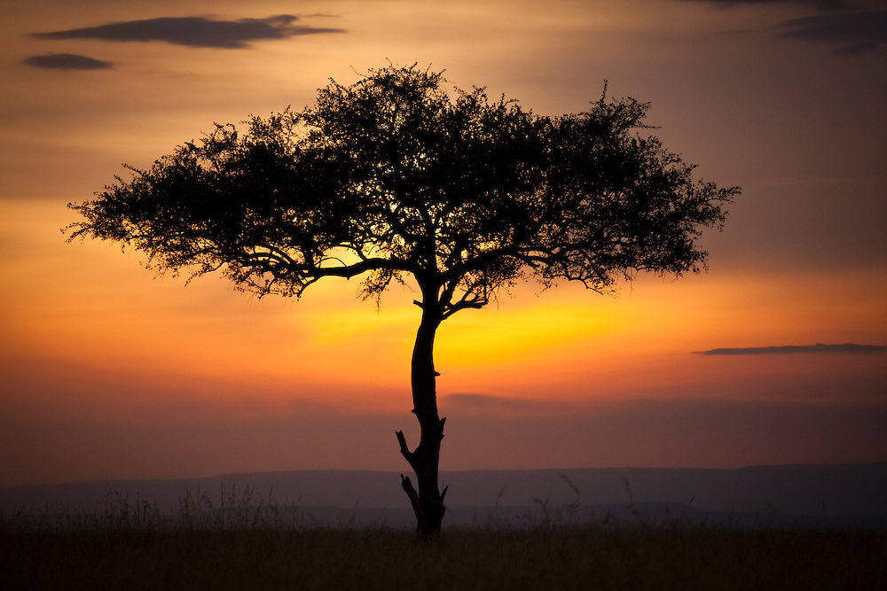 This is Africa - Acacia Tree - Maasai Mara Game Reserve, Kenya, Africa: This image of a lone Acacia tree was photographed at sunset in the Maasai Mara Game Reserve. The Maasai Mara is a large game reserve in south-western Kenya, which is effectively the northern continuation of the Serengeti National Park in Tanzania. Edition on 100 EXP0326