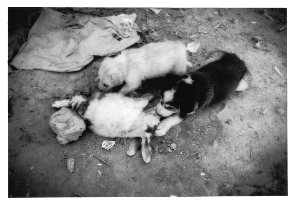 Fuzzy puppies eating a fuzzy rabbit in the ruins of a bombed out building in Kabul's old city, Afghanistan.
