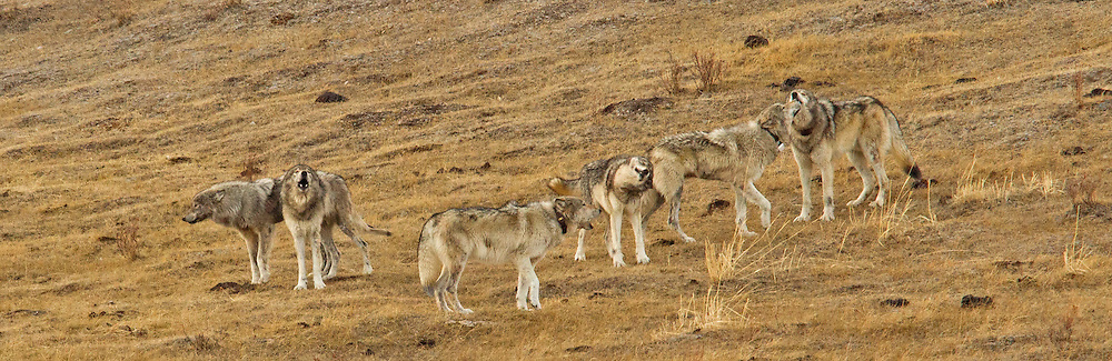 It has been said that the center of a wolf's universe is its pack, and howling is the glue that keeps the pack together. These members of Yellowstone's Blacktail Pack, erupt in a celebratory howl as the remaining members of the pack rejoin the group after a lengthy separation.