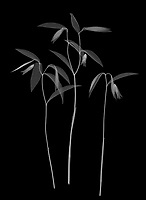 X-ray image of a sessile bellwort cluster (Uvularia sessilifolia, white on black) by Jim Wehtje, specialist in x-ray art and design images.