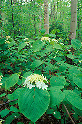 Old Bridle Path, NH.Hobblebush, Viburnum alnifolium. White Mountains N.F..