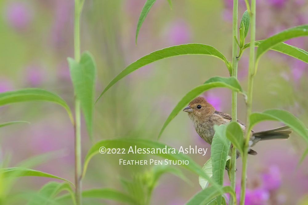 Indigo bunting juvenile, Passerina cyanea, nearly camouflaged while perched on wildflower stalk in tallgrass prairie setting, central Ohio. Semifinalist, Denver Audubon Share the View 2016.