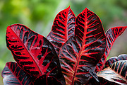 Croton, Tropical Gardens of Maui, Iao Valley, Maui, Hawaii