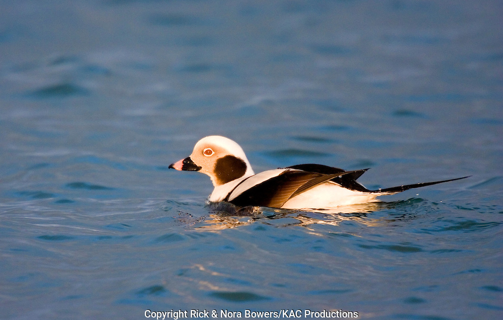 Long-tailed Duck.Clangula hyemalis.Homer, ALASKA, USA.February    Adult Male winter plumage.    Anatidae