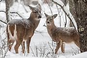 Whitetail doe in snowy winter habitat