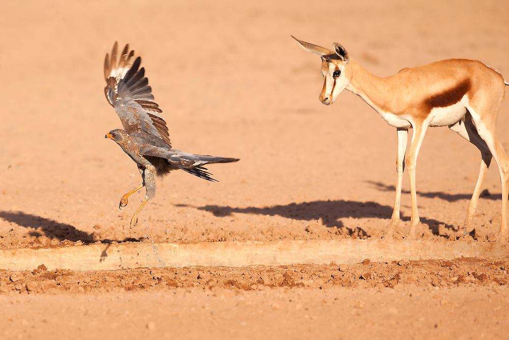 Springbok and Pale Chanting Goshawk at a water hole in the Kgalagadi Transfrontier Park