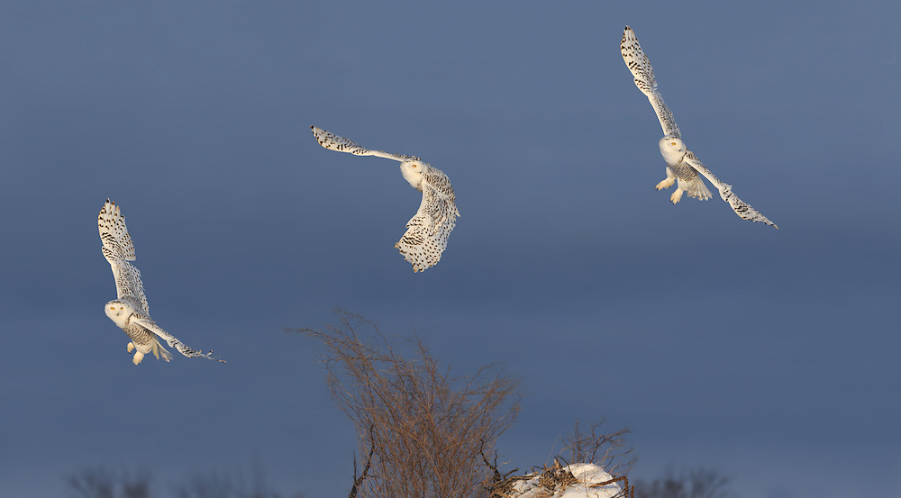 Snowy Owls, Ontario
