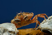 [captive] A Common shore crab (Carcinus maenas) | Strandkrabbe (Carcinus maenas) Multimar Wattforum in Tönning