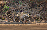 A jaguar, Panthera onca, walking on the bank of the Cuiaba River, Brazil.