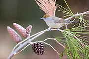 female Eurasian Blackcap (Sylvia atricapilla) on a pine tree branch. Photographed in Israel in October