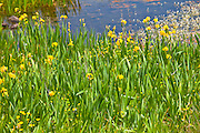 Yellow flag iris among wildflowers by Lough Inagh, Connemara, County Galway, Ireland