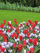 Spring Flowers at Keukenhof, Holland
