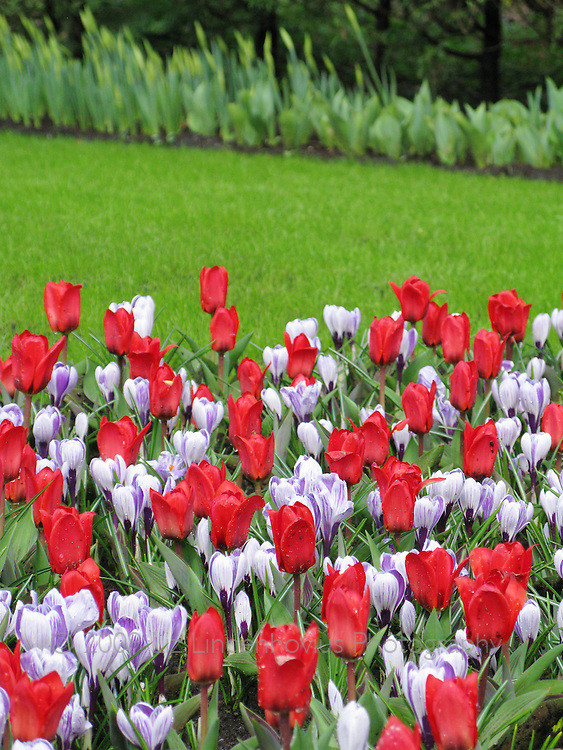 Spring Flowers at Keukenhof, Holland