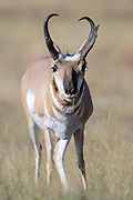 Pronghorn Buck Portrait