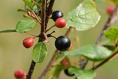 Rhamnaceae, Wegedoornfamilie