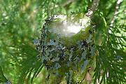 hummingbird nest cedar camouflage