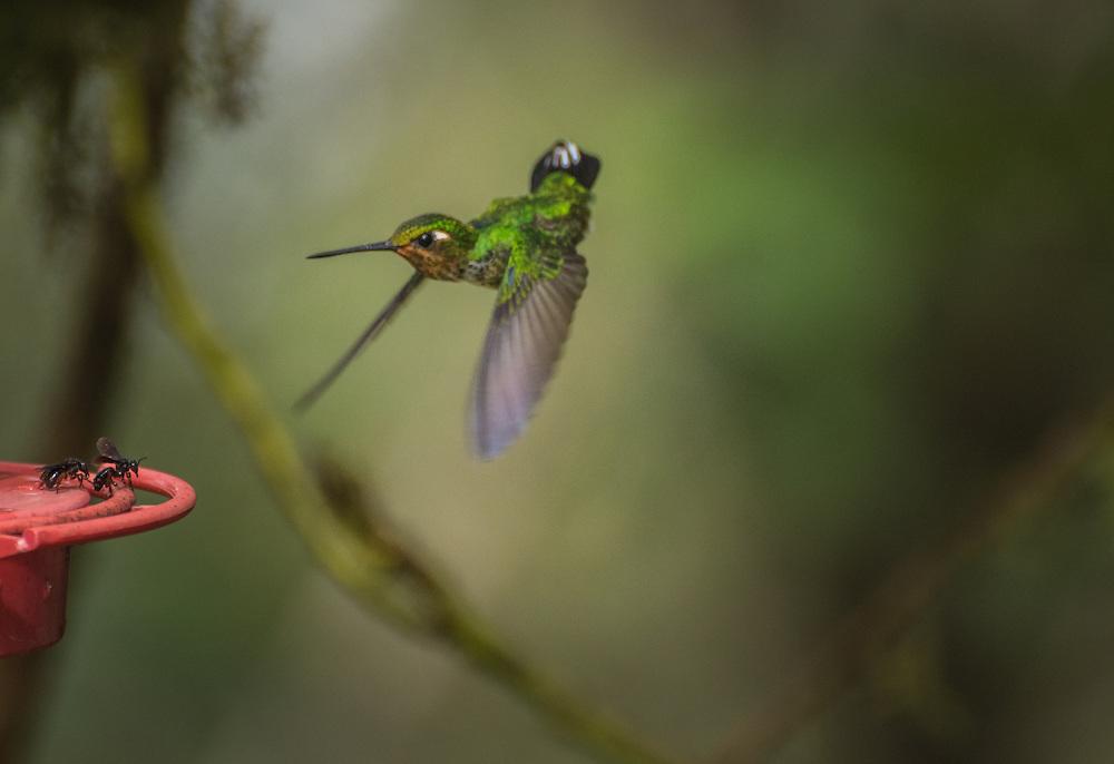 A Western-Emerald approaches a feeder in flight, Santa Lucia Cloud Forest, Ecuador.