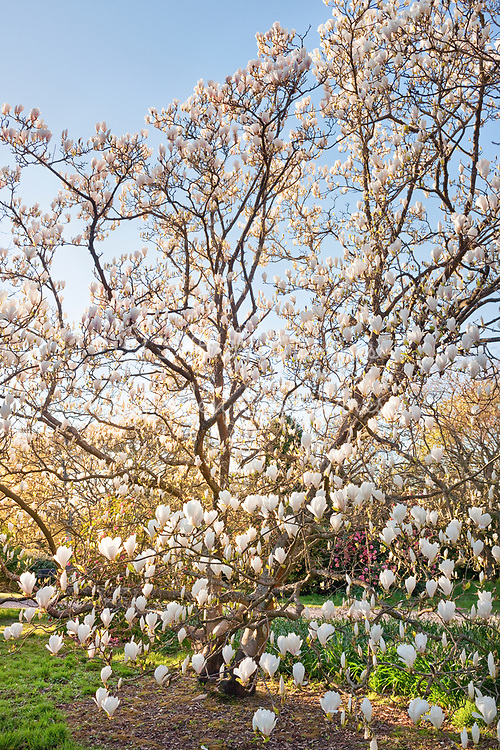 Magnolia x soulangeana 'Brozzoni'