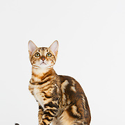 Judi - Bengal Kittens