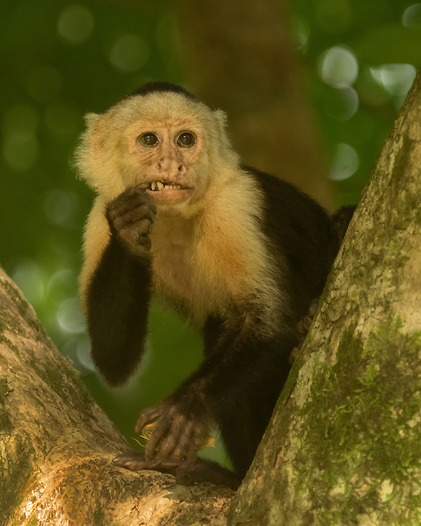 white-headed capuchin (Cebus capucinus), also known as the white-faced capuchin or white-throated capuchin, family Cebidae, subfamily Cebinae