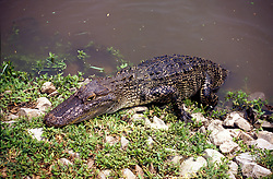Orange:  An alligator makes its way out of a swamp near this town near the Texas-Louisiana state line. Horizontal.