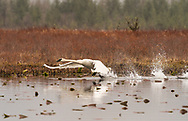 Trumpeter Swan (Cygnus buccinator) takes off from pond at Alaganik Slough in Southcentral Alaska. Spring. Morning.