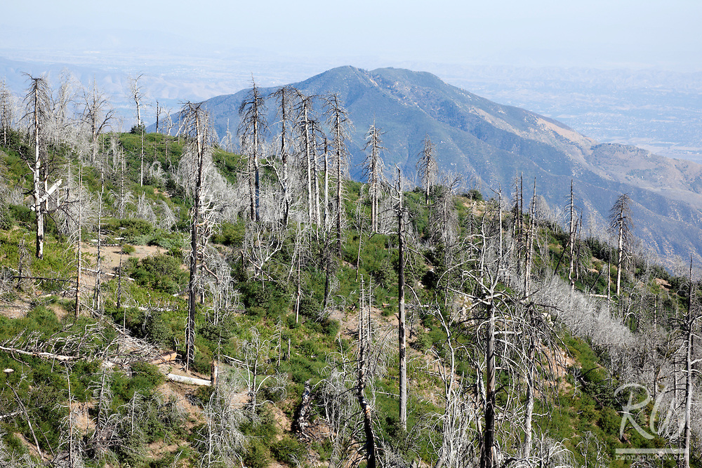 Bark Beetle Disease Deforestation near Lake Arrowhead, San Bernardino National Forest, California