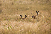 A Mule Deer doe and her two fawns walk across an open grass field.