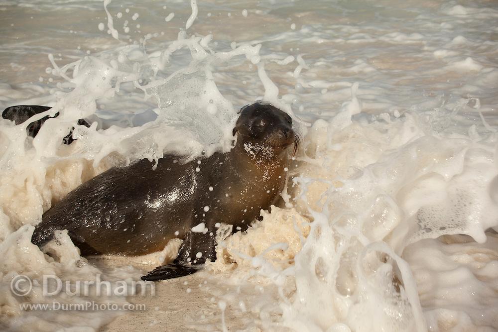 Galapagos sea lion (Zalophus californianus) in the surf on the beach of Espanola Island, Galapagos Archipelago - Ecuador.