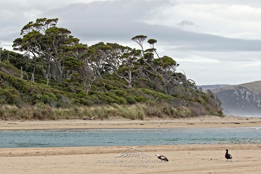 Paradise Shelduck, New Zealand