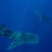 Two whale sharks (Rhincodon typus), Honda Bay, Palawan, the Philippines.
