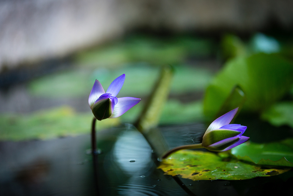 Purple water lily beginning to flower