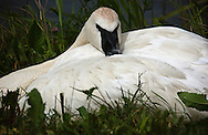 photo by Randy Vanderveen.Camrose, Alberta.A Trumpeter Swan (Cygnus Buccinator) buries its head into the feathers of its wing as it rests in a grassy area near Mirror Lake.