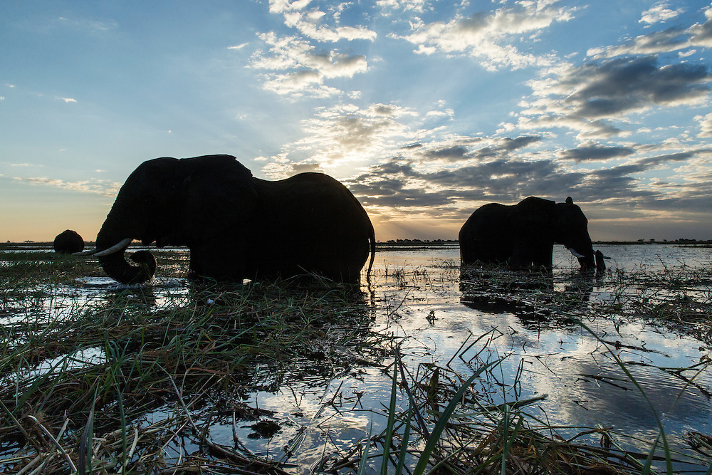 Africa, Botswana, Chobe National Park, African Elephants (Loxodonta africana) feeding on grass in shallow Chobe River