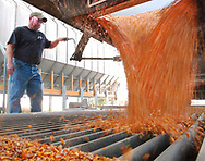 Galveston farmer Kurt Wilson empties a load of newly harvested field corn at his dryer. He runs K Bros. Farm with his brothers Kory and Kevin. Photo by J. Kyle Keener / Pharos-Tribune